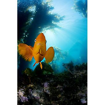 USA California Garibaldi Fish (Hypsypops Rubicundus) In Kelp Forest (Macrocystis Pyrifera) Catalina Island PosterPrint