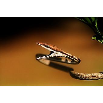 Коричневый Vine змея с открытым PosterPrint его рот