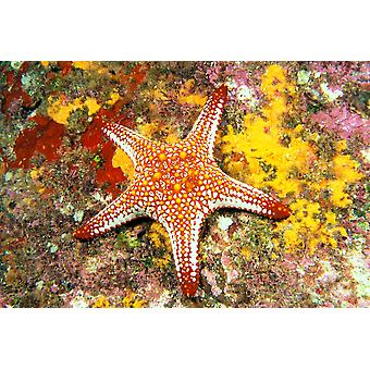 Golfo do México estrela do mar (Pentaceraster cumingi) na PosterPrint coral colorido