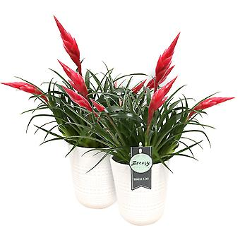 Breasy - Set of 2 Bromeliad Vriesea Multiflora Astrid Red with Pot