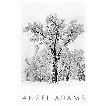 Oak Tree Snowstorm Poster Print by Ansel Adams (24 x 36)