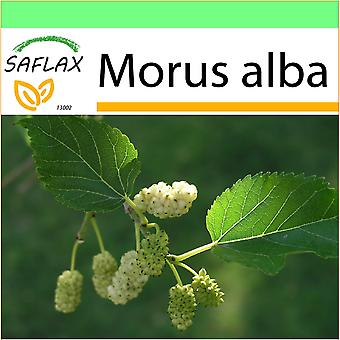 Saflax - haven til Go - 200 frø - hvid Mulberry - Mûrier blanc - Moro bianco - Morera blanca - Weißer Maulbeerbaum