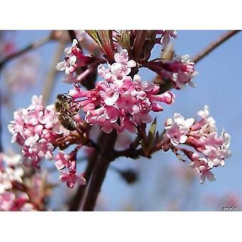 Viburnum farreri - Syn. Viburnum fragrans, Farrer Viburnum