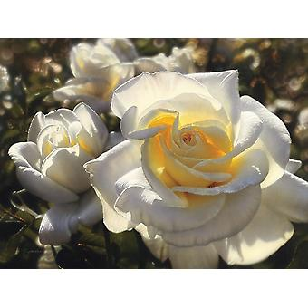White Roses Poster Print by Collin Bogle