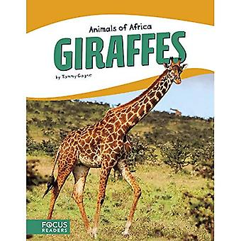 Animaux d'Afrique: girafes