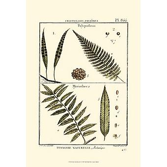 Fern Classification I Poster Print by Denis Diderot (13 x 19)