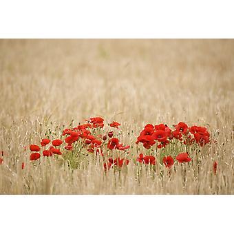 Poppies Growing Wild PosterPrint