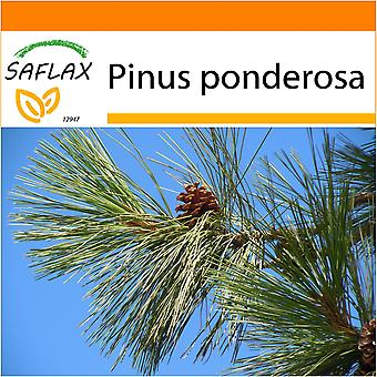 Saflax - tuin in de zak - 20 zaden - Ponderosa Pine - Pin ponderosa - Pino giallo - Pino amarillo occidental - Goldkiefer