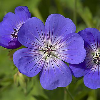 Pair of Hardy Geranium Rozanne in 2L Pots