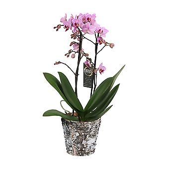 Val av grön - 1 vit orkidé Grandi eller fjäril orchid