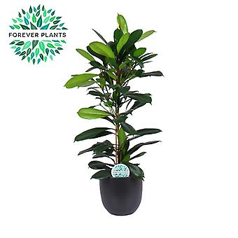 African fig tree ↕ 100 cm available with planter | Ficus cyathistipula