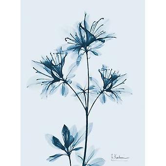 Azalea in Blue 2 Poster Print by Albert Koetsier