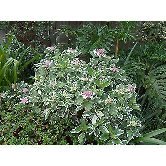 Hydrangea macrophylla Tri-Colour - Hydrangea, planten in 9cm Pot