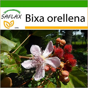 Saflax - 20 seeds - With soil - Lipstick Tree - Arbre rouge à lèvre - Achiote - Achiote - Lippenstift - Strauch