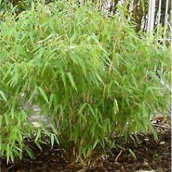 Fargesia murieliae - Umbrella Bamboo - Large Specimen
