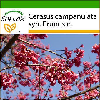 Saflax - 10 seeds - With soil - Taiwan Cherry - Cerisier de Taïwan - Ciliegio di Taiwan - Cerezo ácido - Taiwan - Zierkirsche