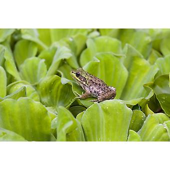 Leopard Frog Resting On Water Lettuce Ontario Canada PosterPrint