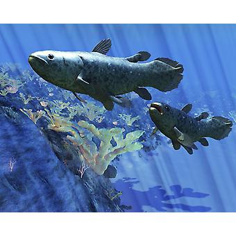 Two Coelacanth fish swimming undersea The Coelacanth fish was believed to have become extinct during the Cretaceous Period but have been discovered to still be living Poster Print