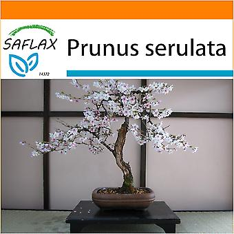 Saflax - Garden in the Bag - 30 seeds - Bonsai - Wild Black Cherry - Cerisier du Japon - Ciliegio del Giappone / Sakura - Cerezo japonés - B - Japanische Blütenkirsche