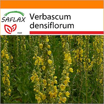 Saflax - Garden in the Bag - 500 seeds - Large Flowered Mullein - Molène à fleurs denses - Verbasco falso barbasso - Gordolobo - Großblumige Königskerze