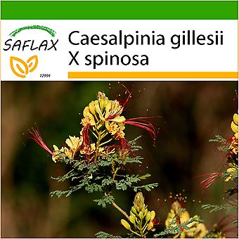 Saflax - 10 seeds - With soil - Peacock Shrub - Flamboyant nain d'Argentine - Uccello del Paradiso - Ave del paraíso - Winterharter Pfauenstrauch