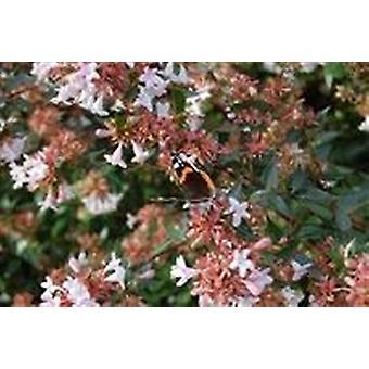 Abelia x grandiflora-lucido Abelia