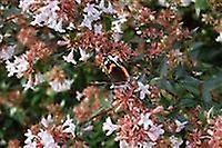 Abelia x grandiflora - Glossy Abelia
