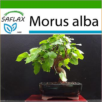 Saflax - 200 seeds - With soil - Bonsai - White Mulberry - Mûrier blanc - Moro bianco - Morera blanca - B - Weißer Maulbeerbaum
