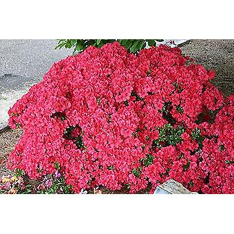 Azalea japonica Mothers Day - Plant in 9cm Pot