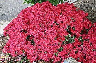 Azalea japonica Mothers Day - Plant in 9cm Pot