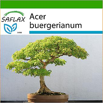 Saflax - 30 seeds - With soil - Bonsai - Three Toothed Maple - Erable trident - Acero tridente - Arce tridente - B - Dreispitzahorn