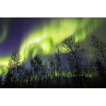 Aurora borealis over silhouetted trees Alaska United States of America Poster Print by Steven Miley  Design Pics