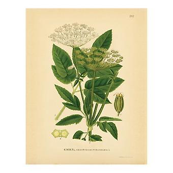 Botaniske serien 262 plakatutskrift (8 x 10)