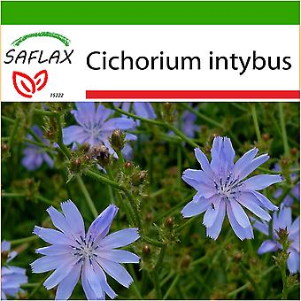 Saflax - 250 seeds - With soil - Chicory  - Chicorée sauvage - Cicoria comune - Escarola - Wegwarte