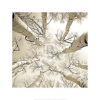 Silver Birch Poster Print von Adam Brock (20 x 20)