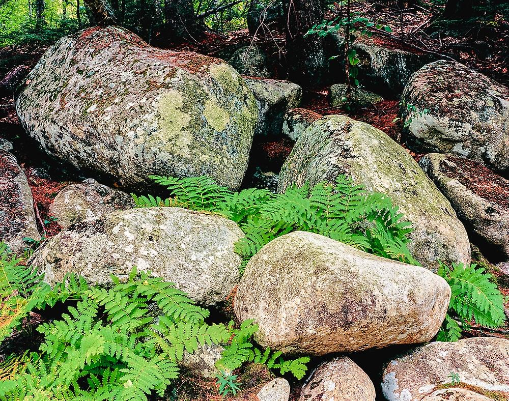 Fern leaves and rock in a forest Swift River blanc Mountain National Forest nouveau Hampshire USA Poster Print by Panoramic Images (28 x 22)