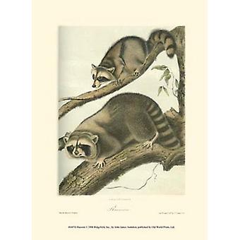 Racoon Poster Print by John Woodhouse Audubon (10 x 13)