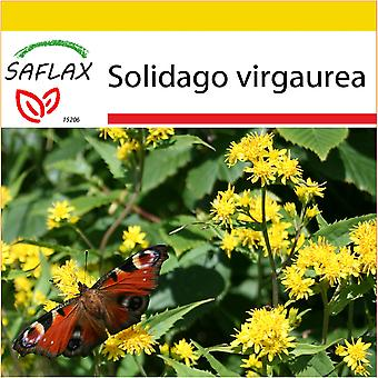 Saflax - Potting Set - 100 seeds - Goldenrod - Solidage verge d'or - Verga d'oro  - Vara de oro - Echte Goldrute