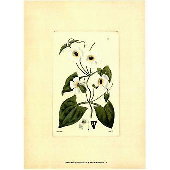 Grabado de cartel IV botánico de blanco de Curtis por el estudio de la visión (6 x 8)