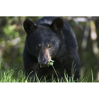 Black Bear Ursus Americanus Forillon National Park Quebec PosterPrint