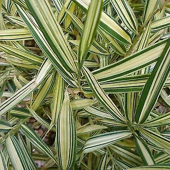 Pleioblastus variegatus - Bamboo, White Striped Dwarf Bamboo - Plant in 9cm Pot